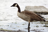 Bernache du Canada, Canada Goose