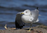 Goéland à bec cerclé, Ring-billed Gull