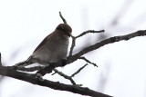 Pie-grièche grise, Northern Shrike