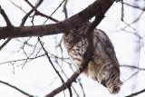 Chouette rayée, Barred Owl