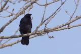 Corneille d'Amérique, American Crow