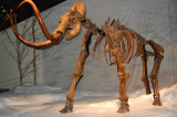 Mammut-skelet