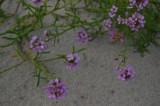 Strandræddike