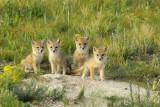 Swift Fox of the Badlands
