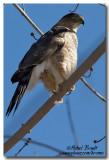 Éperviers - Hawks