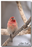 Roselins - Finches
