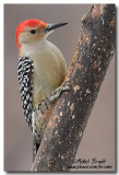 Pic à ventre roux - Red-bellied Woodpecker