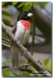 Cardinal à poitrine rose - Rose-Breasted Grosbeak