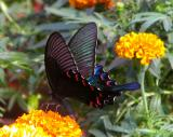 Papilio Arcturus (Blue Peacock)