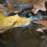 Bull Frog and Leaves