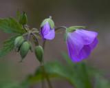 Wild Geranium II