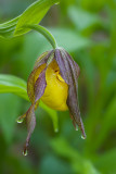 Yellow Lady's Slipper, Young