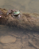 Bullfrog at Home