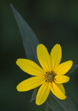 Woodland Sunflower II