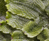 Liverwort Layers