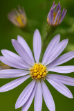 Arrow-leaved Aster II