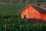 Corn Shadows