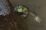 Bullfrog, Female
