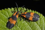 Banded Net-wing