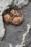 Beaver Scat