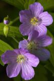 Wild Geranium IV