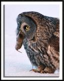 The Great Gray Owls of Aitkin County