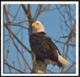 Roosting Eagle