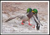 Duck Fight!!