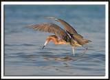 Red Egret Fishing