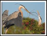 Heron Nesting Activity