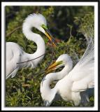 Courting Egrets