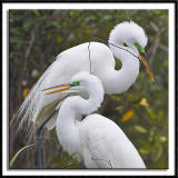 More Courting Egrets