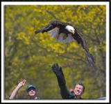 Rehabilitated Eagle Release