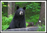 Alert Momma Bear