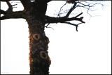 Praise of a tree