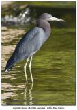 Aigrette bleueLittle Blue Heron