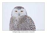Harfang des neigesSnowy Owl