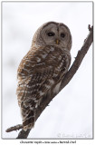 Chouette rayéeBarred Owl