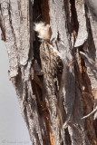Grimpereau brunBrown Creeper