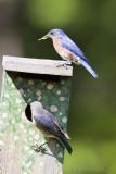 Couple de Merlebleu de l'EstPair of Eastern Bluebird