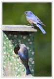 Couple de Merlebleu de l'EstPair of Eastern Bluebird