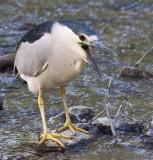 Bihoreau grisBlack-crowned Night-Heron