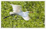 Grande aigretteGreat Egret