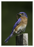 Merlebleu de l'estEastern Kingbird