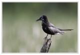 Guifette noireBlack Tern