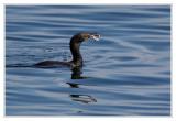Cormoran à aigrettesDouble-crested Cormorant