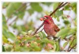 Roselin pourpréPurple Finch