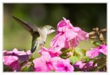 Colibri à gorge rubisRuby-throated Hummingbird