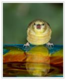 Chardonneret jauneAmerican Goldfinch