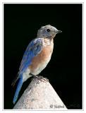Merlebleu de l'estEastern Bluebird